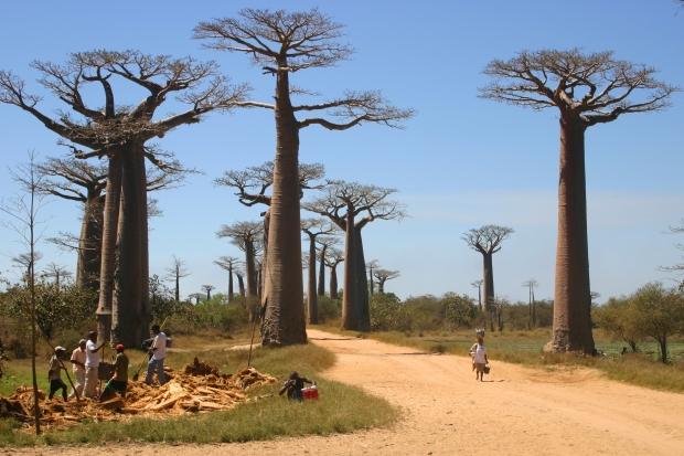 Allée_des_Baobabs