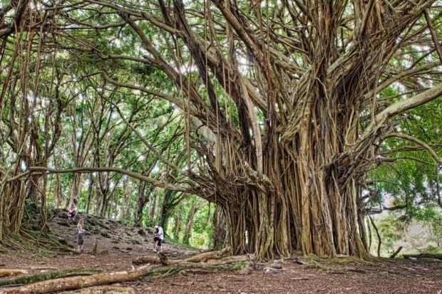 ancient-banyan-big-island-hawaii-james-brandon.jpg
